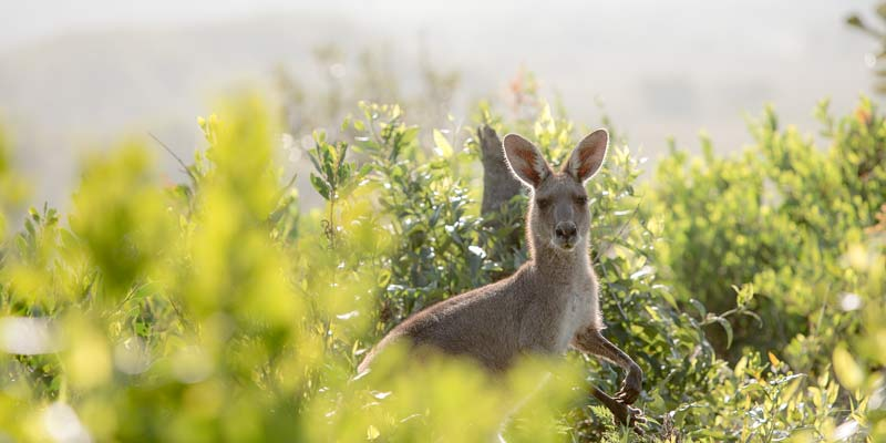 Kangaroo is in a bush in the Karijini National Park. You will see these kind of kangaroos in Perth to Broome backpacker tours