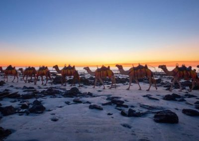 Camels taking tourists on a Perth to Broome Tour for a walk