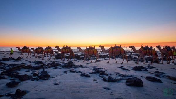 Camels taking tourists on a Perth to Broome Tour for a walk on the white sand beaches of western Australia