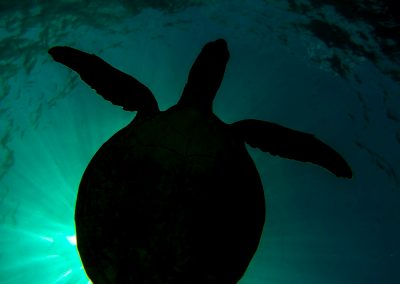 A turtle swimming from Perth To Exmouth