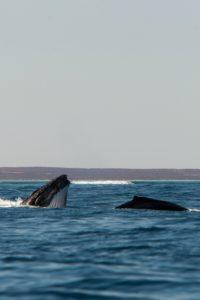 Humpbacks Perth to Exmouth Tour